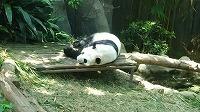 �C初パンダが海外の動物園とは贅沢ですよね.jpg